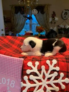 Old English Sheepdog PUPPY FOR SALE ADN-105348 - Old English Sheepdog Puppies
