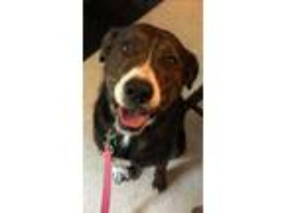 Adopt Perry a Brindle - with White Boxer / Beagle / Mixed dog in Clifton Park