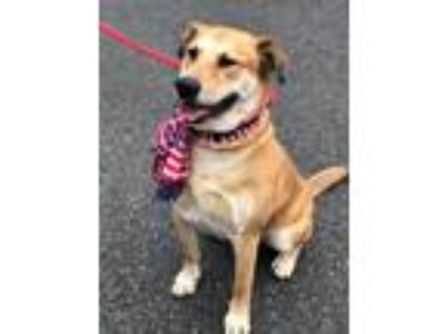 Adopt Gus a Labrador Retriever, Carolina Dog