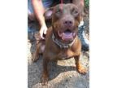 Adopt Roscoe Rome a Brown/Chocolate - with Tan Labrador Retriever / Doberman