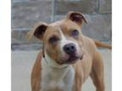 Adopt Stanley (D19-137) a Tan/Yellow/Fawn American Pit Bull Terrier / Mixed dog