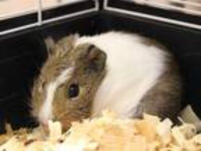 Adopt FORREST a Black Guinea Pig / Mixed small animal in Fort Wayne