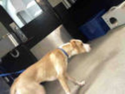 Adopt HONEY a Tan/Yellow/Fawn - with White American Pit Bull Terrier / Mixed dog