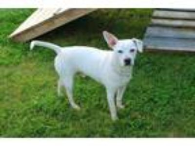 Adopt POPS a White Beagle / Mixed dog in Louisville, KY (25578286)