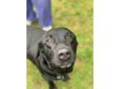 Adopt Jack a Black Labrador Retriever