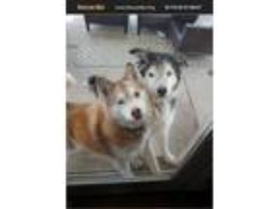 Adopt Malibu a Red/Golden/Orange/Chestnut Husky dog in Saint Peters
