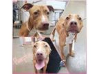 Adopt Pumpkin a Tan/Yellow/Fawn - with White Pit Bull Terrier / Mixed dog in