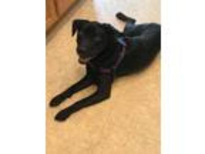 Adopt Robin a Black Labrador Retriever