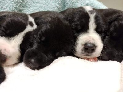 Great Pyredane Puppies! (Great Dane/Great Pyrenees Mix)