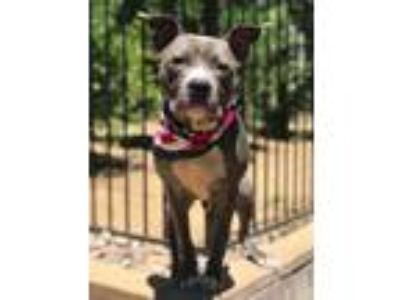 Adopt Apollo a Gray/Silver/Salt & Pepper - with White American Pit Bull Terrier