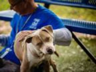 Adopt GYPSY a Pit Bull Terrier