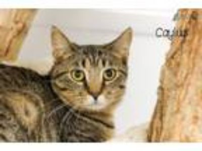 Adopt Caylus / Camino a Domestic Short Hair, Maine Coon