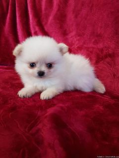 Cute Purebred Pomeranian Puppies