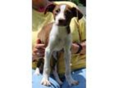 Adopt Jones 30872 a Brown/Chocolate - with White Brittany / Labrador Retriever /