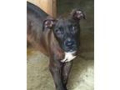 Adopt Kaikea a Brown/Chocolate American Pit Bull Terrier / Mixed dog in Lihue