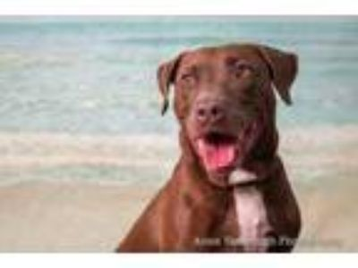 Adopt Butter Pecan a Brown/Chocolate Mixed Breed (Large) / Mixed dog in