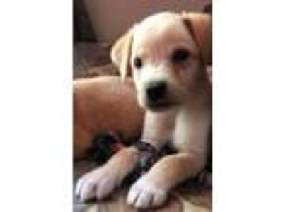 Adopt Mike a Labrador Retriever