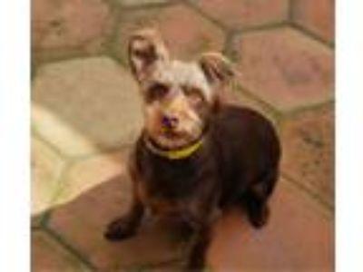 Adopt Charlie is a great family dog! a Miniature Pinscher, Norfolk Terrier
