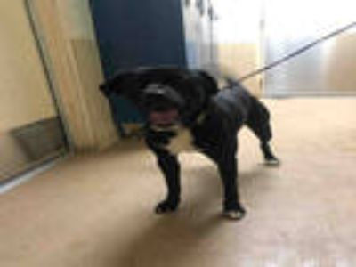 Adopt SPANKY a Black - with White Labrador Retriever / Mixed dog in York