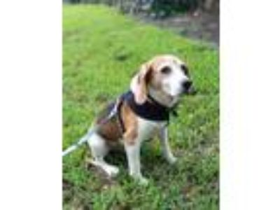 Adopt Dudley a Brown/Chocolate - with White Beagle / Mixed dog in Fort