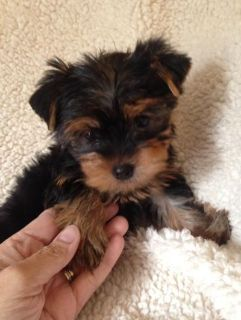 Free Lovely Teacup Yorkie Puppies still available Adoption$$