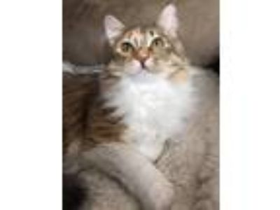 Adopt Camila a Domestic Medium Hair, Tabby