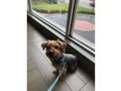 Adopt Derby a Yorkshire Terrier