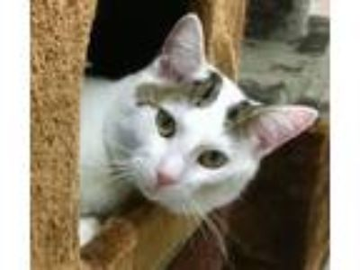 Adopt HARRY - Lovebug! a Domestic Short Hair