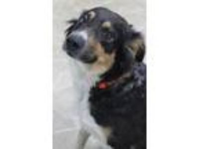 Adopt Pearlie a Border Collie / Mixed dog in Neillsville, WI (25523045)