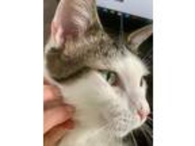 Adopt Marcus a Domestic Shorthair / Mixed (short coat) cat in Hoover