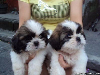 Male/Female Shih Tzu Puppies for Re