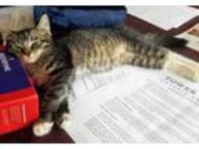Adopt Cedar a Domestic Short Hair