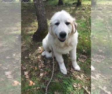 Great Pyrenees PUPPY FOR SALE ADN-130749 - AKC PAL LGD Buddy