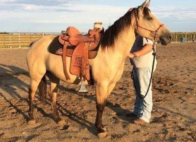 Dun quarter mare horse 469 xx 415 xx 7106