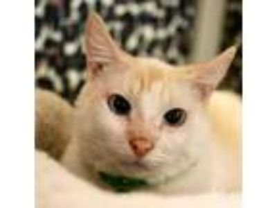 Adopt Roo a Cream or Ivory Siamese / Domestic Shorthair / Mixed cat in
