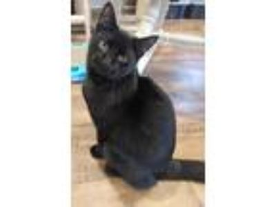Adopt Robbie a Domestic Shorthair / Mixed cat in Calverton, NY (23366169)
