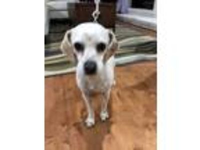 Adopt Dixie a White - with Tan, Yellow or Fawn Cocker Spaniel / Dachshund /