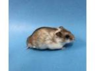 Adopt Sammy a Silver or Gray Hamster / Mixed small animal in St.