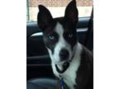 Adopt Lilly a Husky, American Staffordshire Terrier