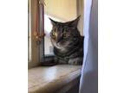 Adopt Georgie a Tortoiseshell Domestic Shorthair / Mixed cat in Wheat Ridge