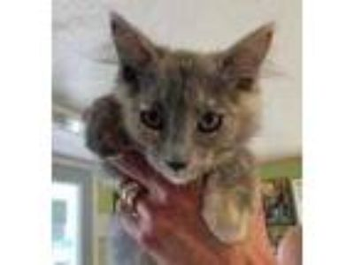 Adopt Kimi a Gray or Blue Domestic Mediumhair / Maine Coon / Mixed cat in West