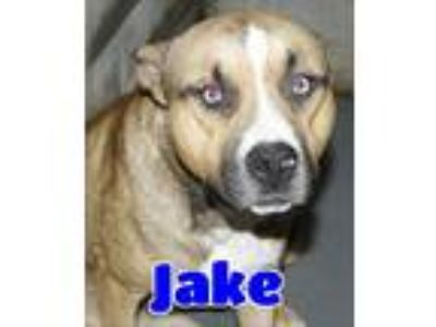 Adopt #141 Jake a Tan/Yellow/Fawn Pit Bull Terrier / Husky / Mixed dog in
