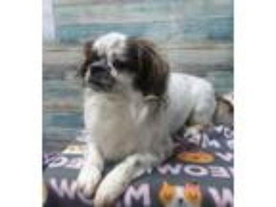 Adopt Leo a White Shih Tzu / Mixed dog in Scottsbluff, NE (25365425)