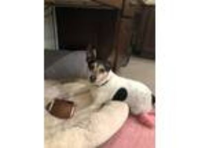 Adopt Princeton a Tricolor (Tan/Brown & Black & White) Rat Terrier / Mixed dog