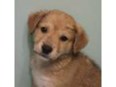 Adopt Debbie Weisen~ PUPPY a Tan/Yellow/Fawn - with White Labrador Retriever /