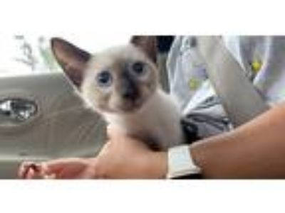 Adopt Mars a White (Mostly) Siamese cat in Tampa, FL (25820110)