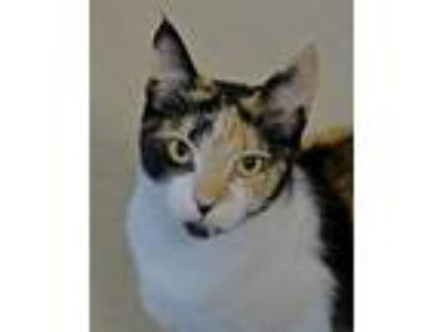 Adopt Kit a Domestic Short Hair