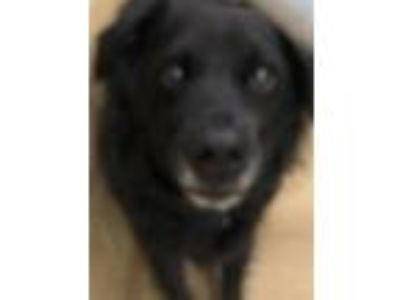 Adopt Dolly a Border Collie / Mixed dog in Canon City, CO (25201266)