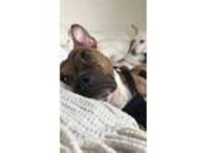 Adopt Penelope (URGENT) a Brindle - with White Pit Bull Terrier / Boxer dog in
