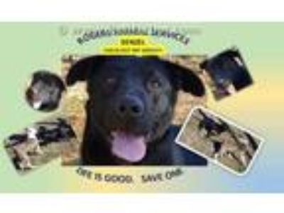 Adopt DENZEL a Black Labrador Retriever / Basset Hound / Mixed dog in Rogers